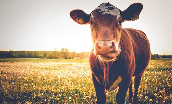 Tripas naturales de vaca en United Caro
